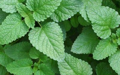 Featured Herb: Lemon Balm